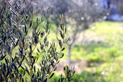 Olive Tree. Branches in a field. Selective focus, beautiful nature bokeh, copy space stock photography