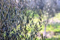 Olive Tree. Branches in a field. Selective focus, beautiful nature bokeh, copy space stock image
