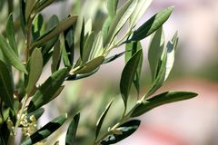 Olive Tree. Branches in a field. Selective focus, beautiful nature bokeh, copy space stock images