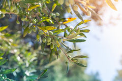 Olive tree branches with green fruits in sunlight Stock Photography