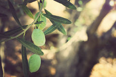 Olive tree branches, Green olives. Nature background. Vintage image Stock Photos