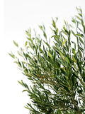 Olive tree branches isolated Stock Photos