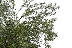 Olive tree branches with ripe olives royalty free stock photos