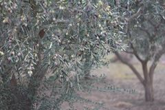 Olive tree branches with ripening fruits Royalty Free Stock Image