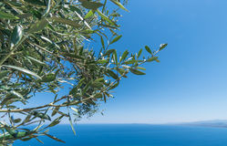 Olive tree branches with sea Stock Photos