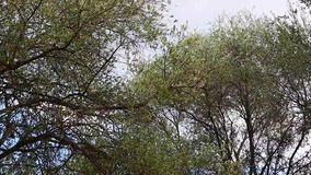Olive Tree Branches Shacked By Wind. Olive Trees Into the Wind. Countryside in France stock footage