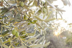 Olive tree brunch Royalty Free Stock Image