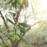 Olive tree brunch Stock Images