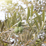 Olive tree brunch Royalty Free Stock Photos