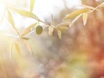 Olive tree brunch Stock Image