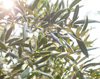 Olive tree brunch Stock Photos