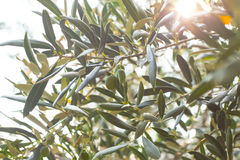 Olive tree brunch Stock Images