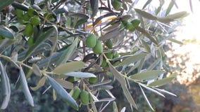 Olive tree stock footage