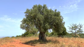 Olive Tree and Cicadas stock video footage