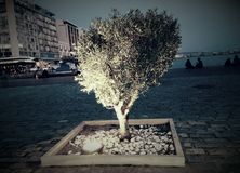 Olive tree at the city beach Royalty Free Stock Photos