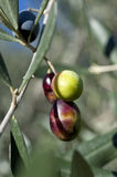 Olive tree and a a close up of olives, ligurian olives the name. Olive tree and a close up of olives, ligurian olives, the name is taggiasca, olives, Dolcedo Royalty Free Stock Images