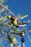 Olive tree and a a close up of olives, ligurian olives the name. Olive tree and a close up of olives, ligurian olives, the name is taggiasca, olives, Dolcedo Stock Photo