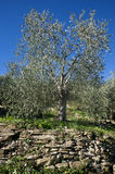 Olive tree and a a close up of olives, ligurian olives the name. Olive tree and a close up of olives, ligurian olives, the name is taggiasca, olives, Dolcedo Royalty Free Stock Photography
