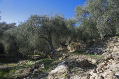 Olive tree and a a close up of olives, ligurian olives the name. Olive tree and a close up of olives, ligurian olives, the name is taggiasca, olives, Dolcedo Royalty Free Stock Photo