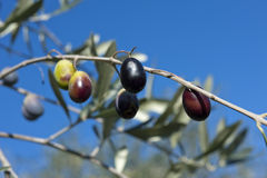 Olive tree and a a close up of olives, ligurian olives the name Stock Photography