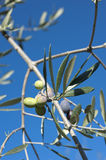 Olive tree and a a close up of olives, ligurian olives the name Royalty Free Stock Photography