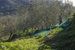 Olive tree and a a close up of olives, ligurian olives the name Royalty Free Stock Images