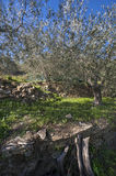 Olive tree and a a close up of olives, ligurian olives the name Royalty Free Stock Photos