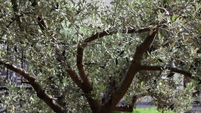 An olive tree stock video