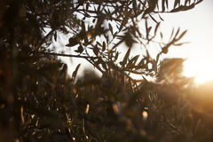 Olive tree closeup Stock Image