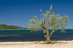Olive tree on the coast Royalty Free Stock Photos