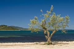 Olive tree on the coast Royalty Free Stock Photos