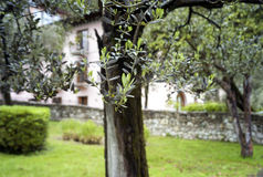 Olive tree. Color image Royalty Free Stock Photos