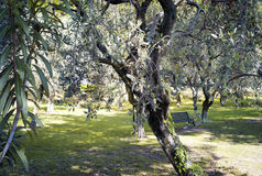 Olive tree. Color image Stock Photos