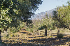 Olive tree cultivation of olives Royalty Free Stock Photography