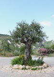 Olive Tree in de Lente Stock Foto's