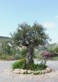 Olive Tree in de Lente Stock Foto's