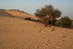 Olive tree in desert. Olive tree cultived in Sahara desert, Egypt Royalty Free Stock Photos