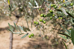 Olive tree Royalty Free Stock Photography