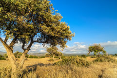 Olive tree on drought meadow Royalty Free Stock Images