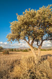 Olive tree on drought meadow Stock Image