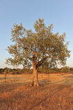 Olive tree in early evening light. Olive tree in early evening light in Istria Royalty Free Stock Photography