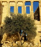 Olive tree at Erechteion, Acropolis, Athens, Greece. Olive tree outside Erechteion at the Acropolis in Athens, Greece on sunny day Stock Images