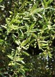 olive tree för detalj Royaltyfri Bild