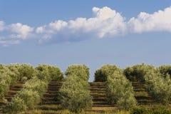olive tree för fält Fotografering för Bildbyråer