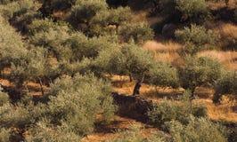 olive tree för fält Arkivfoton