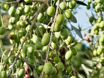 olive tree för filial Royaltyfri Fotografi