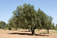 Olive tree farm Stock Image