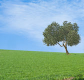 Olive tree in field Stock Images