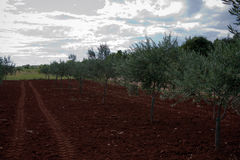 Olive tree field. With tractor trace in Croatia Stock Photography