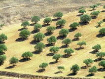 Olive tree field Stock Photography